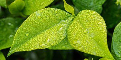 Leaves Essential Oil