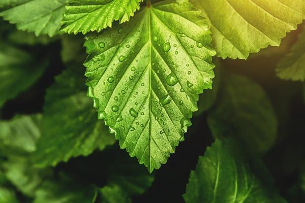 Patchouli Leaves