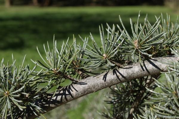 Cedarwood Branch