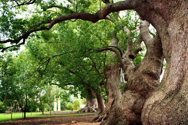 Ho Wood Tree